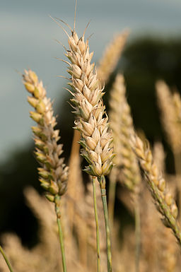 Gluten from Wheat